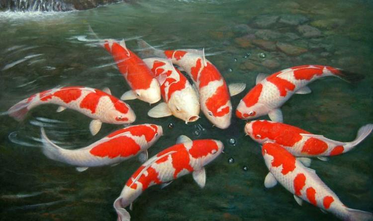 """Cơn sốt cá Koi lan tỏa khắp Nhật Bản và """"tràn"""" sang cả các quốc gia khác ở châu Á. Ảnh: JapanTimes"""