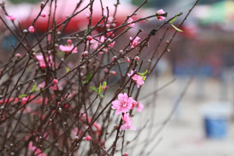 Phần lớn đào được bán tại chợ hoa Quảng Bá là đào được trồng tại làng hoa Nhật Tân. Một số cành nở sớm nên được người dân mang đi bán trước.Ngoài ra, một số cành đào cũng được các nhà vườn ở vùng ngoại ô Hà Nội cắt bán tại chợ.