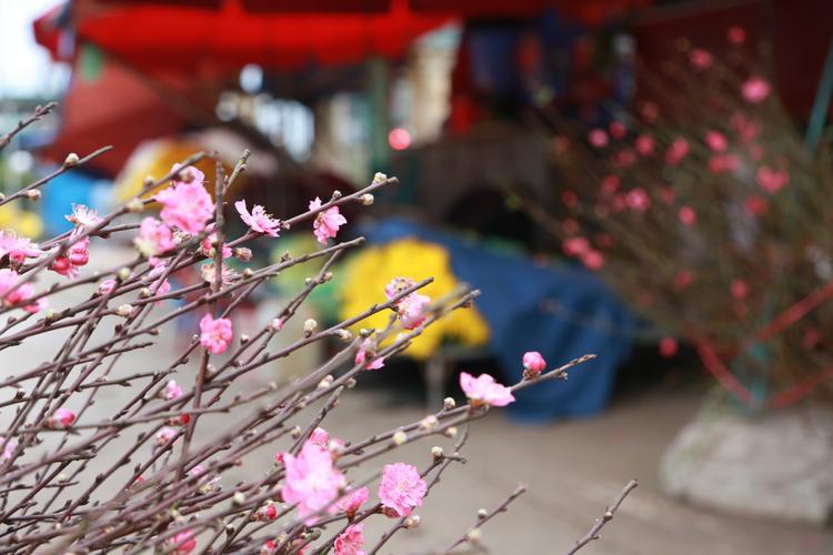 Những ánh đào tràn ngập sắc màu xua tan cái lạnh ở Hà Nội.