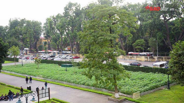 Hoa mặt trời được trồng tại Hoàng Thành Thăng Long.