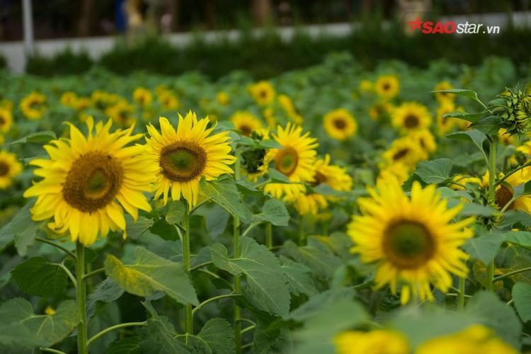 Nhiều cây hoa có chiều cao 2 m vươn lên khi có ánh nắng mặt trời.