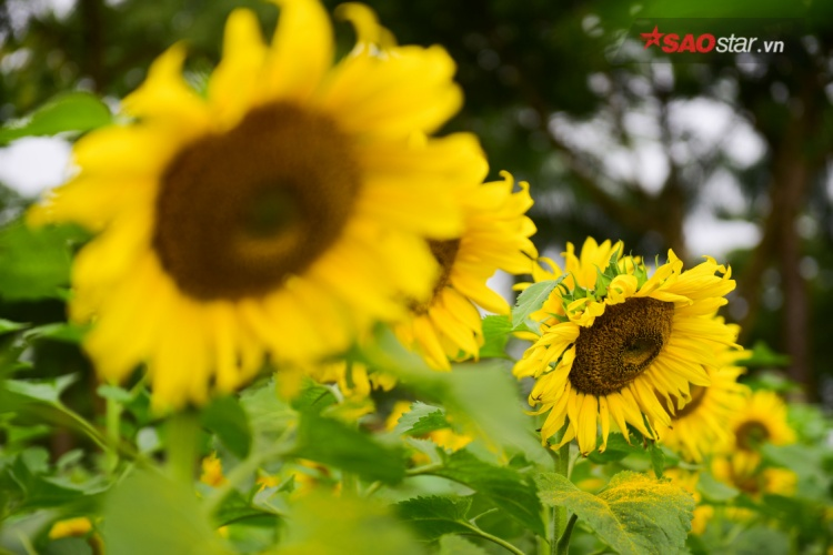 Hàng trăm luống hoa, mỗi luống dài khoảng 30 mét đã nở hoa hoặc bắt đầu bung nụ.