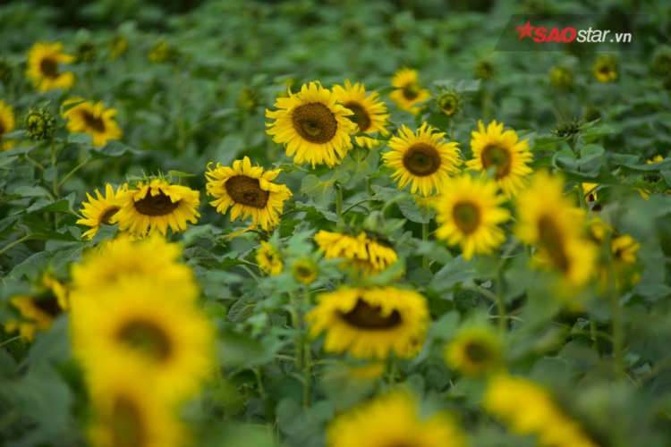 Vườn hoa hướng dương tại Hoàng thành Thăng Long rộng hoảng 2.000m2.