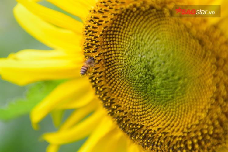 Bông hoa hướng dương được trồng vào thời điểm cuối năm có kích thước lớn, màu hoa đậm, cao lớn hơn…