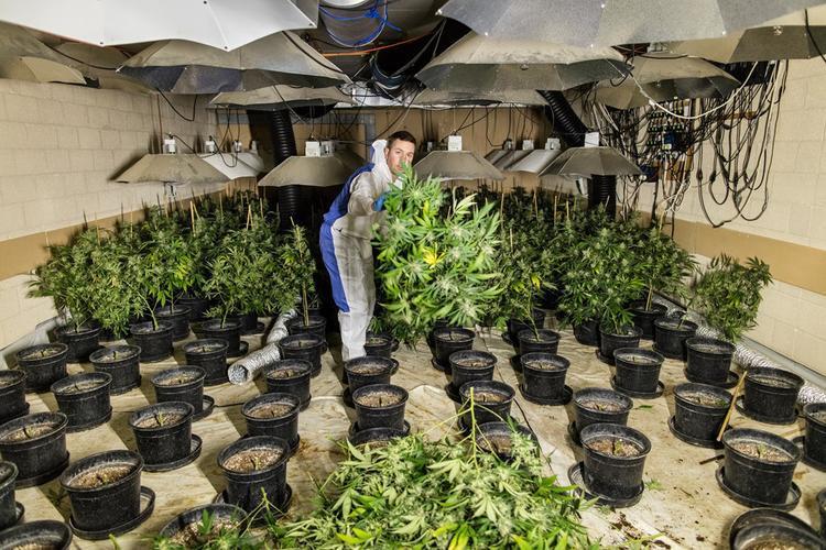 Bên trong một căn hầm trồng cần sa ở Wiltshire, Anh.Ảnh:Guardian.