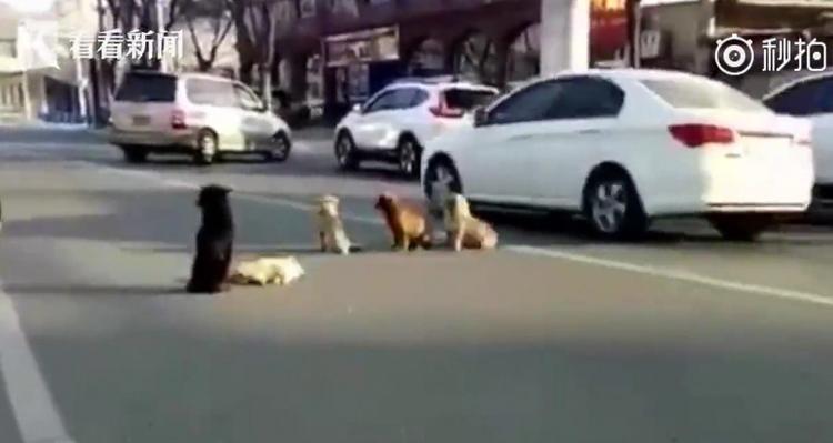 Mặc dù xe cộ qua lại hai bên đường rất đông, nhưng những chú chó vẫn quyết không bỏ rơi đồng đội của mình.