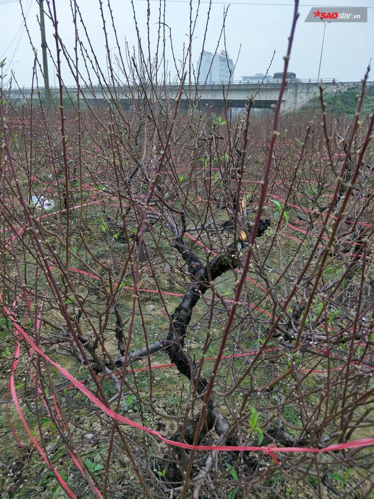 Nhiều cây, gia đình ông Sinh đã chăm sóc nhiều năm nay.