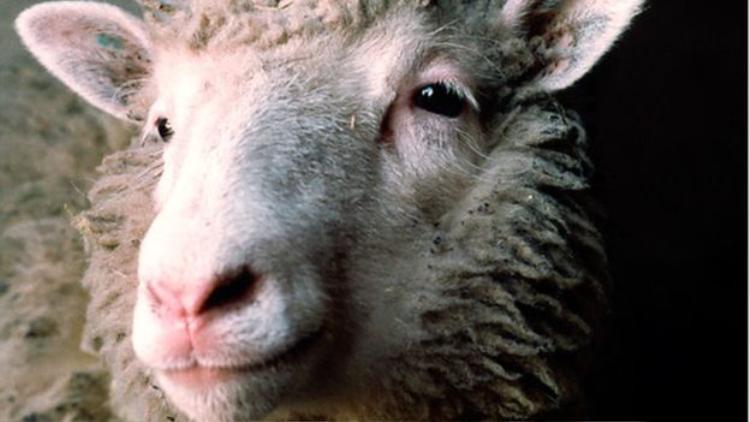 Dolly, con vật có vú đầu tiên được nhân bản trên thế giới, ra đời năm 1996. Ảnh: BBC