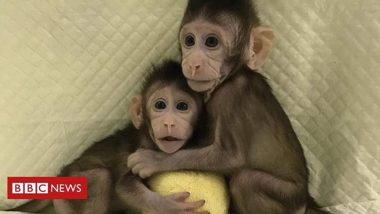 Hai con khỉZhong Zhong và Hua Hua hiện phát triển bình thường. Ảnh: BBC