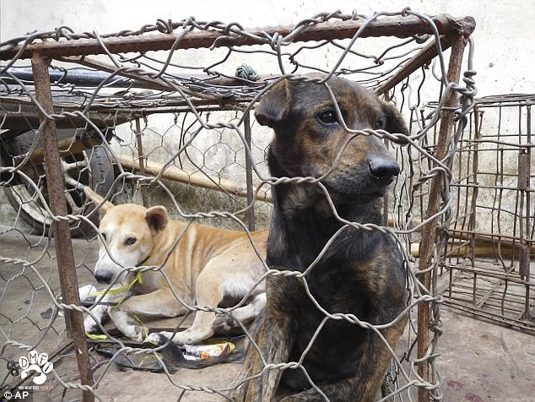Theo điều tra của nhóm Animal Friends Manado, ước tính 90% chú chó bị bắt trộm từ hộ gia đình tới Sulawesi, Indonesia. Trong đó có khoảng 80% chú chó đến từ các tỉnh khác trên khắp đất nước này.