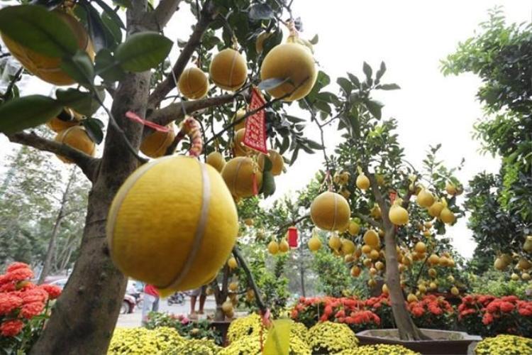 Cận cảnh cây bưởi diễn trên hè phố Sài Gòn. Ảnh: Tiền phong.