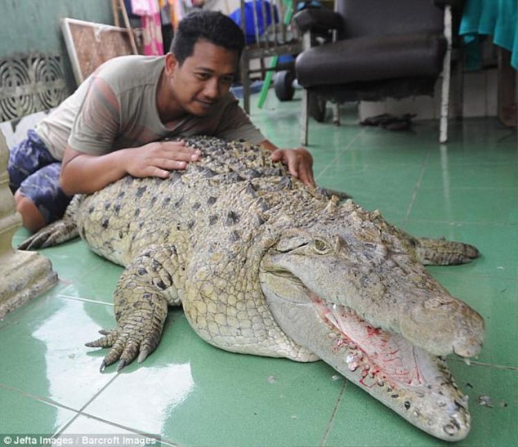 Con cá sấu đã sống cùng gia đình anhMuhammad Iwan suốt 20 năm qua.