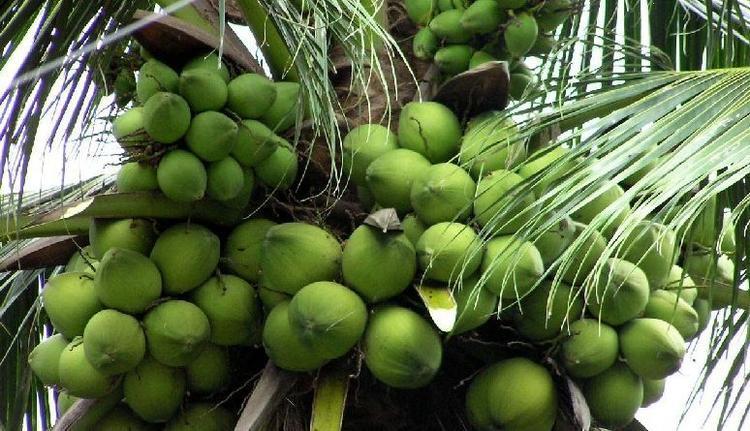 Dừa sáp Trà Vinh - đặc sản miền Tây rất thích hợp để du khách mua về làm quà biếu dịp Tết.