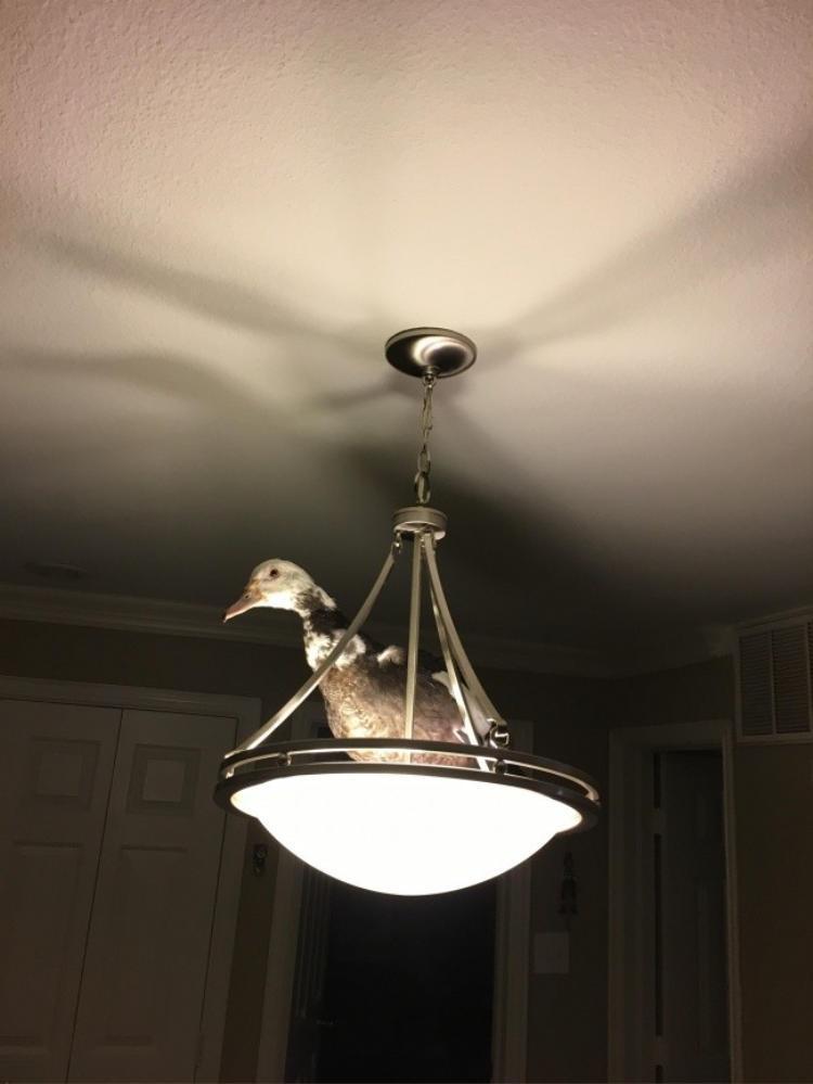 """""""Hôm nay tôi mua vịt để thịt, nào ngờ nó nhảy luôn lên bóng đèn như thế này. Ai có thể nói cho tôi biết, giờ tôi phải làm sao được không?"""""""