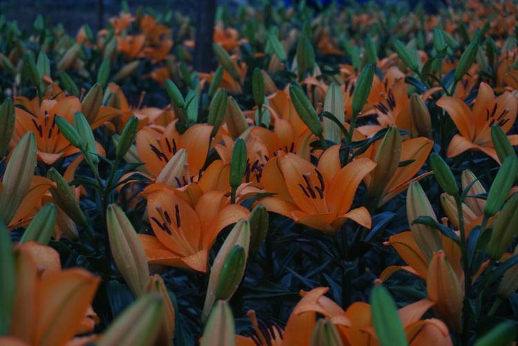 Theo chủ vườn, cành hoa ly nhưng nở tới 3-4 bông rất khó bán và giá rất rẻ.