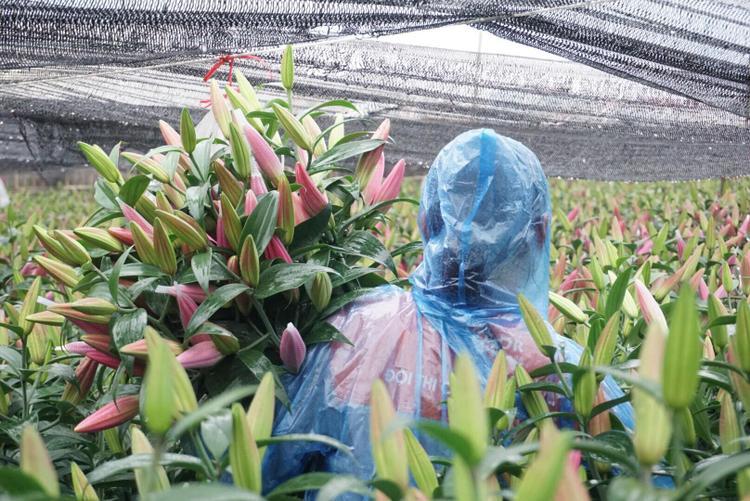 Vườn hoa ly nhà ông Lâm đã bắt đầu bung nở và phải cắt bán với giá rất rẻ.