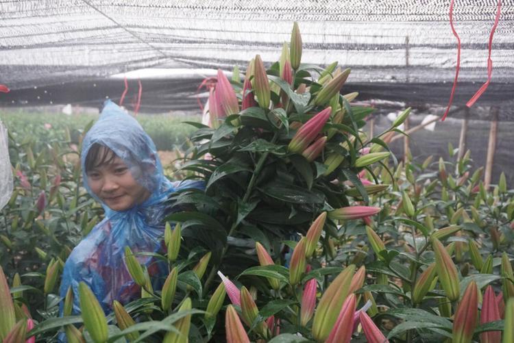Chị Hường đội mưa cắt từng cành hoa ly để mang bán.