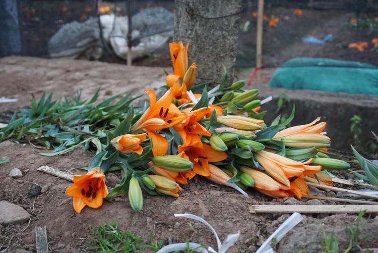Người dân Tây Tựu khóc ròng, phải cắm cả sổ đỏ vì hoa ly bung nở đầy ruộng sau Tết