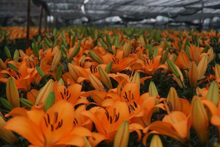 Nhiều vườn hoa ly cam đã bung nở khiến người dân không kịp bán.