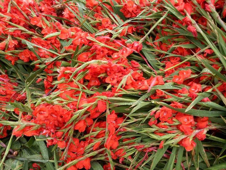 Theo các thương lái bán hoa tại đây, chưa năm nào hoa lại rẻ và rộ nhiều như năm nay. Chính vì thế sức tiêu thụ sau Tết giảm hẳn trong khi hoa lại rất nhiều.
