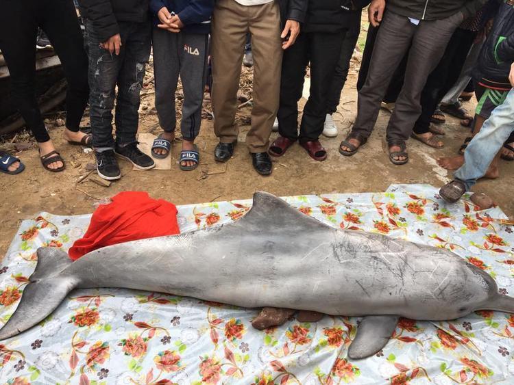 Con cá heo trôi dạt vào bờ biển