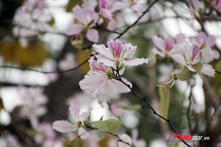 Những đoạn đường Bắc Sơn - Hoàng Diệu, Nguyễn Du - Trương Hán Siêu, Điện Biên Phủ, Thanh Niên, Trần Duy Hưng, Trần Phú… là nơi có nhiều hoa ban nở.