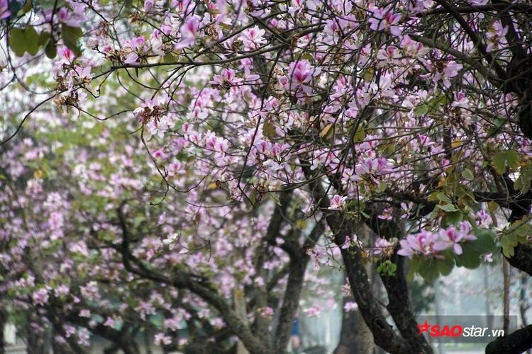 Sắc trắng pha lẫn tím hồng nhẹ nhàng của hoa ban rất hợp với quang cảnh đất trời và khí hậu mùa xuân.