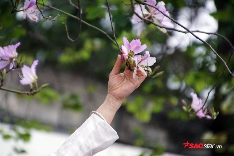 Loài hoa này nở rộ từ cuối tháng 2 đến đầu tháng 3 hàng năm.