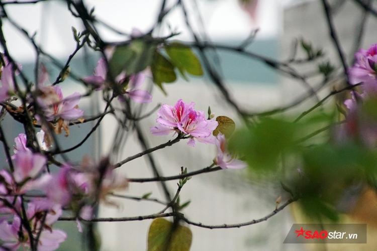 Những bông hoa ban khi nhìn xa khá giống với hoa đào phớt - biểu tượng mùa xuân ở miền Bắc.