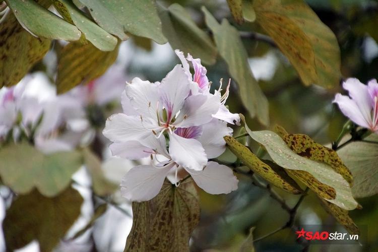 Một số bông hoa sắp tàn gần như mất hẳn sắc tím pha hồng phớt, chỉ còn lại màu trắng tinh khôi.
