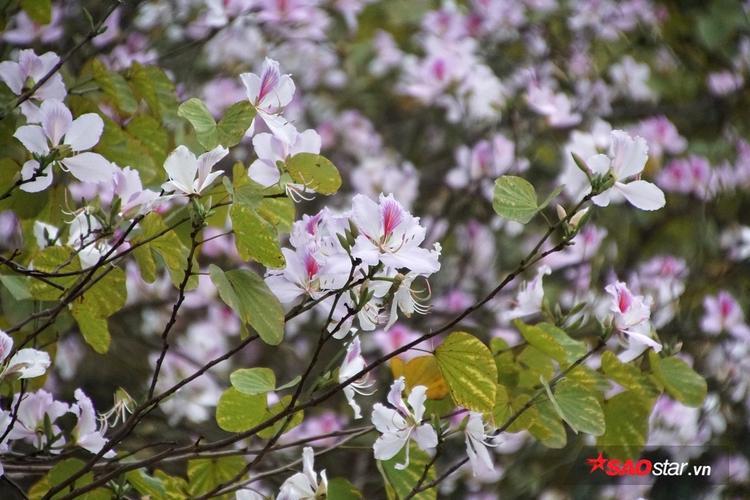 Cây hoa ban còn có tên gọi là móng bò sọc, có nguồn gốc ở miền đông nam châu Á, từ miền nam Trung Quốc kéo dài về phía tây tới Ấn Độ. Thông thường chỉ gọi là cây ban, tuy nhiên, do có nhiều loài cùng chi cũng có tên là ban nên cây hoa ban thường được gọi theo màu hoa của nó, như hoa ban trắng, ban hồng, ban tím.