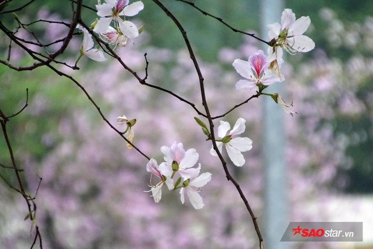 Hà Nội những mùa hoa, mỗi con phố gắn với 1 loài hoa đẹp khiến nhiều người đi xa, khi nhớ về lại thêm yêu những con phố của Hà Nội một chút.