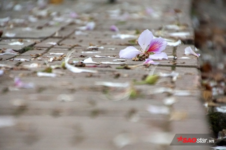 Mùa hoa ban cũng khá ngắn, chỉ nở rộ khoảng đầu tháng 3 rồi nhanh chóng tàn phai.