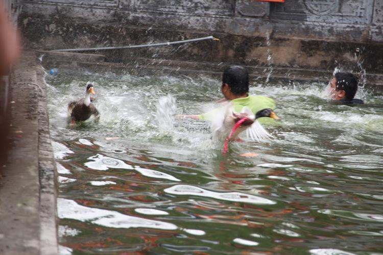 Khi thấy người tiến lại gần, đàn vịt rẽ nước tháo chạy.