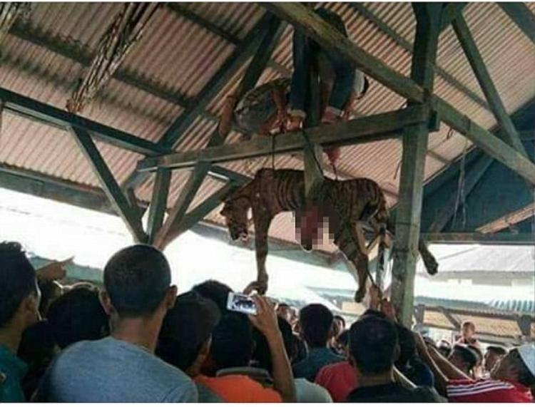 """Sau khi """"đột kích"""" và sát hại con hổ, người dân tìm cách treo nó lên trần của một khu tập trung."""