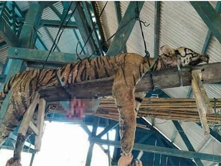 Con hổ bị người dân đánh đến chết rồimoi hết nội tạng.