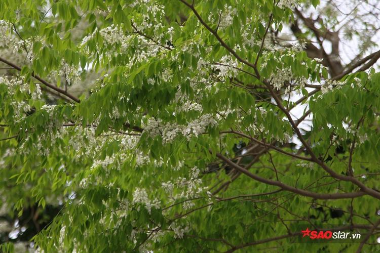Sưa chỉ nở hoa đầu cành, phía dưới thì thân gầy và khô. Hoa như mây, mảnh mai và nhẹ nhàng.