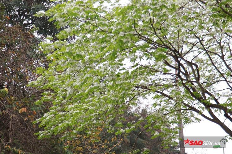 Tháng 3 - mùa hoa sưa nở, khiến bao người say mê, thích thú chiêm ngưỡng