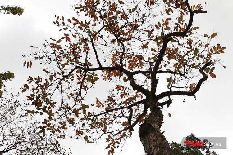 Những cây lá đỏ đang mùa thay lá.