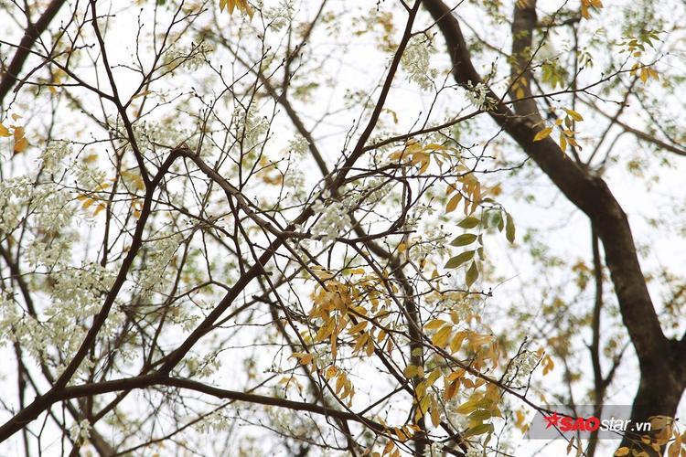Chùm hoa sưa trắng muốt vừa mới nở xen kẽ những cành lá úa vàng.