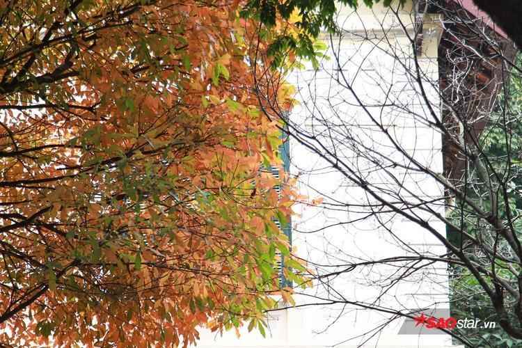 Đứng dưới tán cây đỏ rực này, nhiều người hẳn sẽ ngỡ mình lạc vào nơi nào đó ở xứ sở Kim Chi.