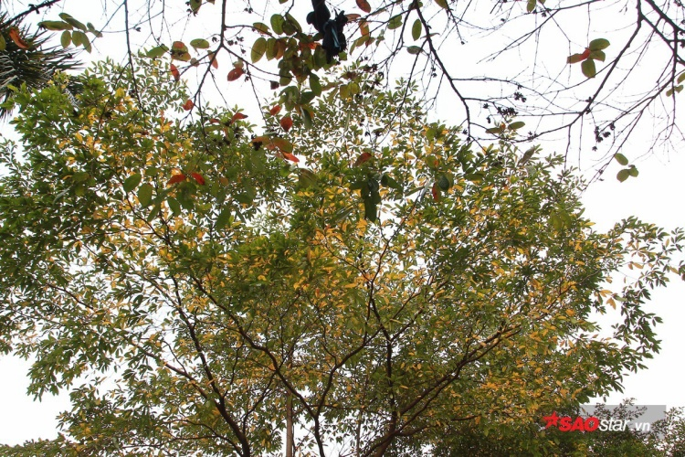 Những khoảng trời lung linh sắc màu vì có lá xanh, đỏ, vàng xen kẽ nhau.