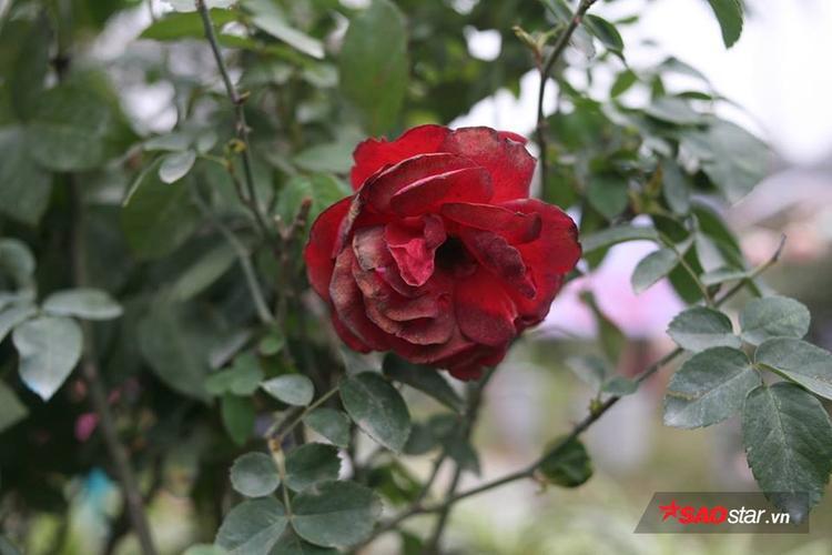 Hoa hồng héo rũ ở lễ hội năm 2017.