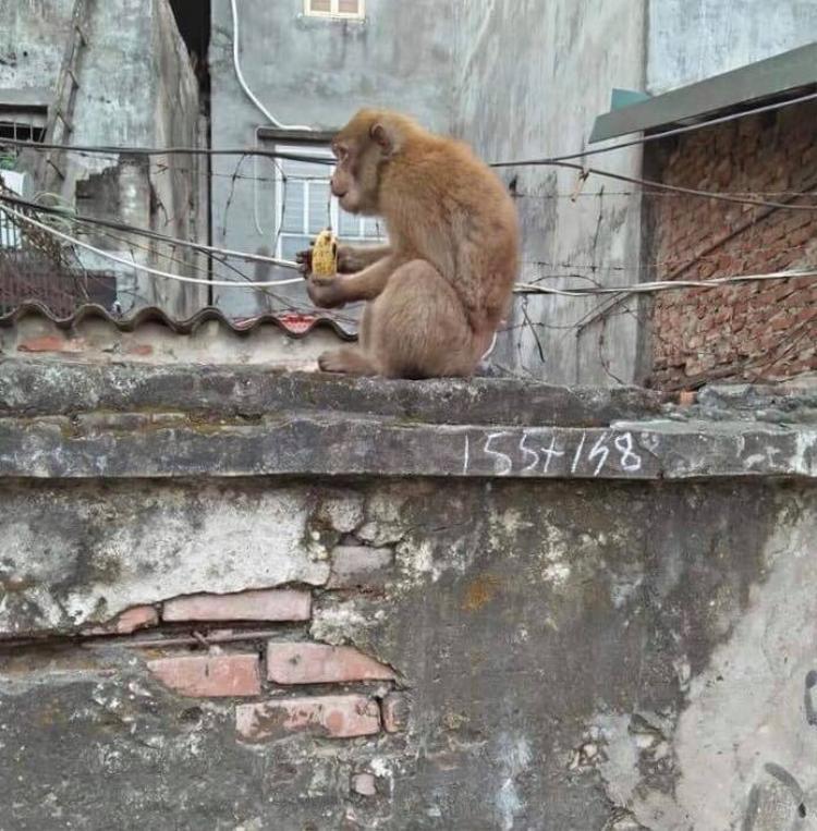Con khỉ hoang này xuất hiện hơn 10 ngày nay.