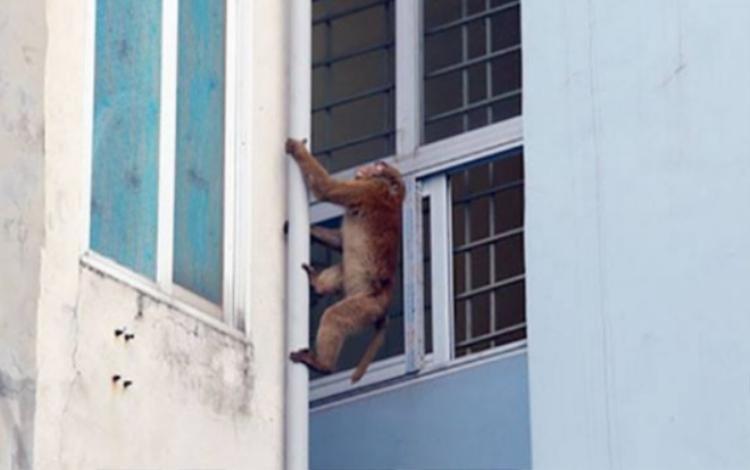 Hình ảnh khỉ hoang leo trèo quanh các hộ dân.
