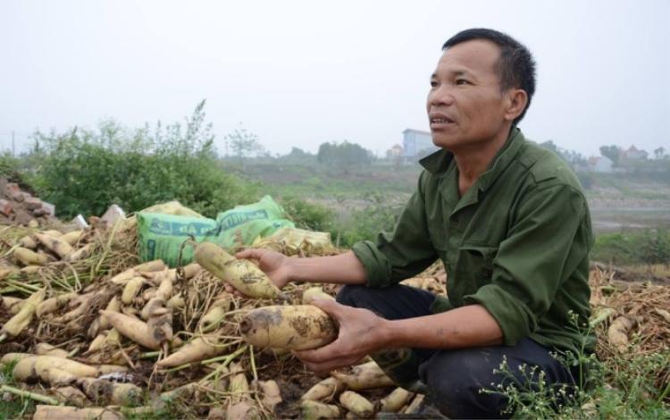Ông Khang cho biết, chỉ 1000 đồng/1kg củ cải nhưng bán rất chậm nên hư hỏng nhiều.