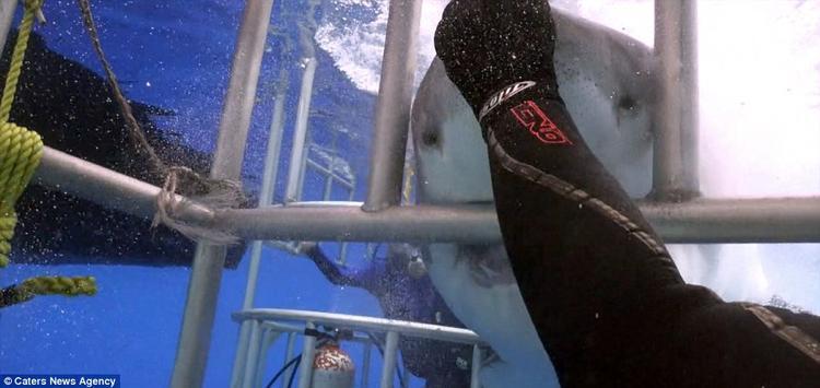 Eli bình tĩnh đặt lòng bàn tay lên mũi con cá mập và đẩy nó ra khỏi lồng.