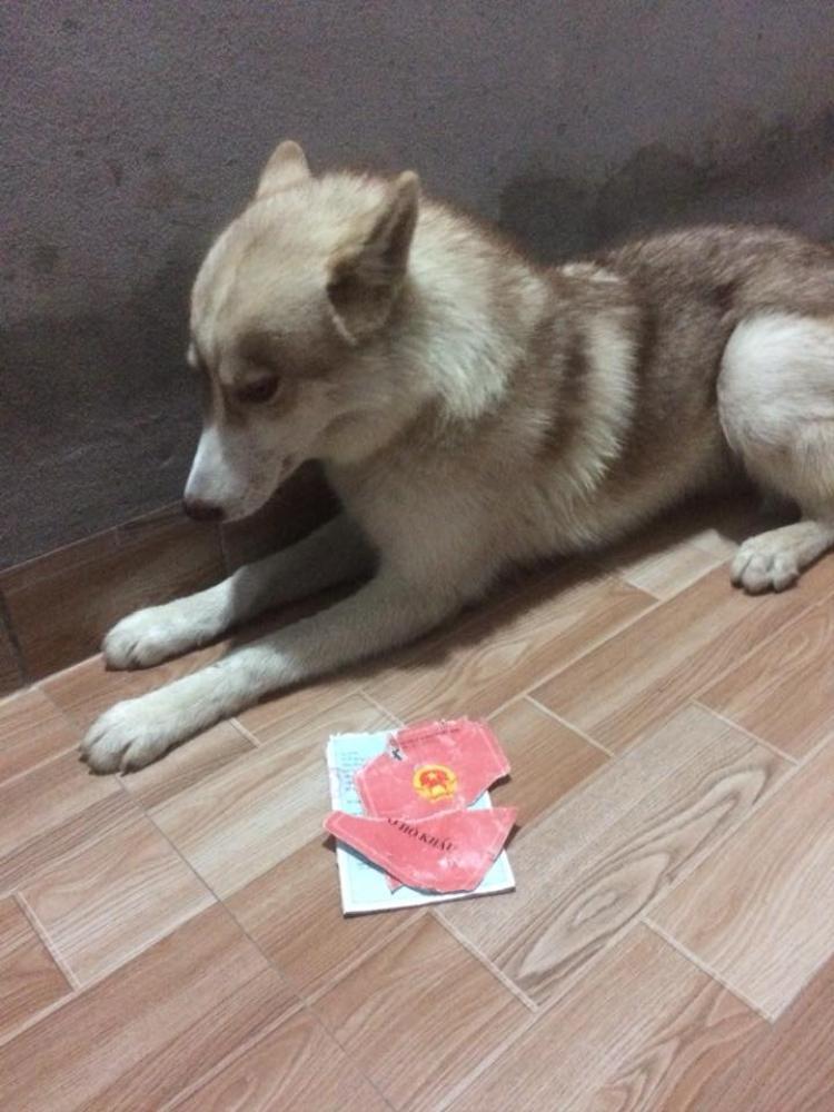 Chú chó Husky cắn rách hết sổ hộ khẩu của sen chỉ vì lý do củ chuối này!