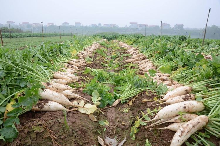 Chủ tịch xã Tráng Việt cho biết, thời gian tới, đơn vị sẽ định hướng cho bà con nông dân cần cân nhắc trước khi gieo trồng.