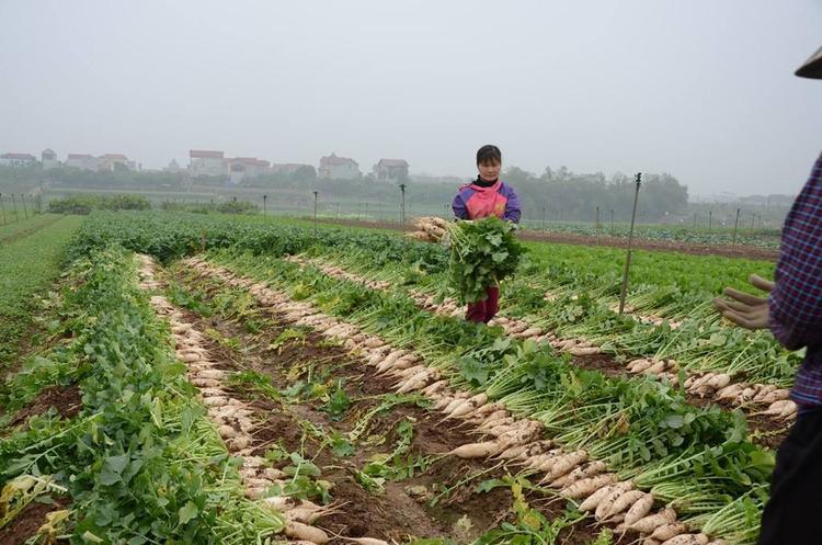 Người dân buồn chán thu hoạch củ cải nhưng giá chỉ 500 đồng/1 kg.